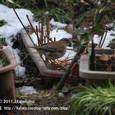 25-2 滋賀の里山から(6-2) 春になると北へ帰る渡り鳥、シロハラ