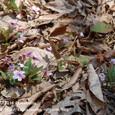 26 滋賀の里山から(7) 春を告げるスミレ、シハイスミレ(紫背菫)