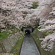 43-1 琵琶湖疏水(1-1) 鹿関橋の桜