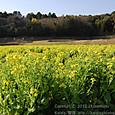 44-3 滋賀の里山から(21-1)  菜の花の畑(平野/ひらのの菜の花漬け)