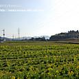 44-4 滋賀の里山から(21-2)  菜の花の畑(平野/ひらのの菜の花漬け)