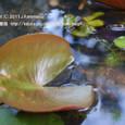 28 滋賀の里山から(8) 涼しげな水辺の風景、スイレンの葉