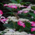 29 滋賀の里山から(10) カナヘビとアジサイの花