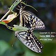 33-1 滋賀の里山から(14-1) アゲハチョウのメスが、今、生まれました。