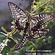 33-2 滋賀の里山から(14-2) アゲハチョウのメスが、今、生まれました。