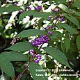 34 滋賀の里山から(15) 紫色の果実が美しい、コムラサキ(コシキブ)