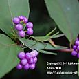 35 滋賀の里山から(16) オンブバッタと、紫色の実~コムラサキの枝の上で