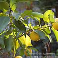 40 滋賀の里山から(17) 冬の穏やかな黄色、ユズ(柚子)の実