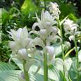20 滋賀の里山から(5) 夏の白い貴婦人、オオバギボウシの花