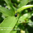 16 滋賀の里山から(1) 小さな働き者、ヒメクロオトシブミ