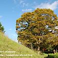 47 滋賀の里山から(24) 大きな木と、秋の青空