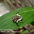 18 滋賀の里山から(3) 稀少種、カトウツケオグモ