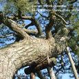 043 2009.01.01up tree・flower/木・花018 浮御堂の松