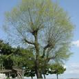 016 2008.04.03up tree・flower/木・花008 柳の木・春