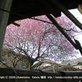 045 2009.03.01up 2010.03.04up tree・flower/木・花020 廃屋の紅梅
