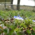 075 2010.03.03up tree・flower/木・花024 オオイヌノフグリ