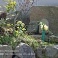 109 2011.03.09up 2012.03.30up tree・flower/木・花 031 水仙の花のお供え。小さな石仏の前で《それから6日後》