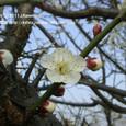 110 2011.03.10up tree・flower/木・花 032 琵琶湖岸の梅の花(堅田なぎさ苑前にて)