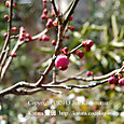 141 2013.03.11up tree・flower/木・花 045 紅梅のふくらんだつぼみ