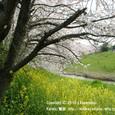 080 2010.03.30up 堅田周辺の町/Towns around Katata 014 真野川の桜