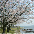 081 2010.03.31up the most beautiful place 046 琵琶湖の畔で咲く桜