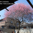 112 2011.04.01up 2012.03.28up tree・flower/木・花 034 廃屋の紅梅(2011年3月)