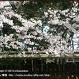 082 2010.04.01up Honkatata/本堅田240 伊豆神社の桜