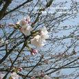 048 2009.04.02up tree・flower/木・花 022 桜の咲き始め