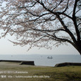 114 2011.04.04up the most beautiful place 054 桜の花(琵琶湖の見える公園にて)2