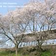 051 2009.04.05up 2010.04.03up Station/駅 107 堅田駅の桜の木