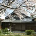 052 2009.04.06up Ukimido/浮御堂 043 茶室玉鈎亭と桜
