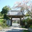 088 2010.04.07up Honkatata/本堅田244 妙法寺の桜