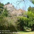 087 2010.04.09up Honkatata/本堅田248 ヤマザクラ(春日山古墳群へ続く道にて)