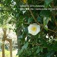 089 2010.04.10up tree・flower/木・花 027 祥瑞寺の白い椿