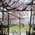 056 2009.04.11up 都久生須麻神社の枝垂桜