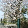 116 2011.04.11up the most beautiful place 055 桜の花のお供え(琵琶湖岸、おとせの浜にて)