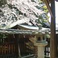 057 2009.04.12up Honkatata/本堅田185 伊豆神社の桜