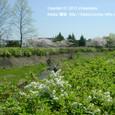 119 2011.04.13up Tenjingawa Green belt/天神川緑地022 桜の淡いピンク、ユキヤナギの白。琵琶湖に注ぐ川・天神川の春