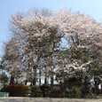 120 2011.04.14up 堅田周辺の町/Towns around Katata 029 中村八幡宮の桜1