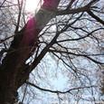121 2011.04.14up 堅田周辺の町/Towns around Katata 030 中村八幡宮の桜2