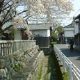 090 2010.04.14up Honkatata/本堅田252 蔵通り、桜咲く