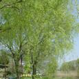 091 2010.04.15up Imakatata/今堅田091 柳の新緑(琵琶湖畔・今堅田から)