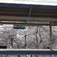 124 2011.04.16up 堅田周辺の町/Towns around Katata 042 堅田駅の桜(駅ホームから)