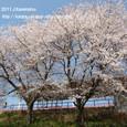 125 2011.04.16up 堅田周辺の町/Towns around Katata 043 堅田駅の桜(駅ロータリーから)