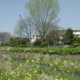 060 2009.04.18up ~Tenjingawa Green belt/天神川緑地011 菜の花とポプラの木