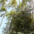 128 2011.04.19up 堅田周辺の町/Towns around Katata 046 竹林と椿の大木