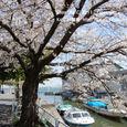 131 2011.04.23up Honkatata/本堅田380 琵琶湖の畔、堅田港の桜
