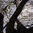 132 2011.04.24up tree・flower/木・花036 堅田港入り口に咲く一本桜