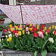 136 2012.04.25up tree・flower/木・花 040 色とりどりのチューリップとキティちゃん