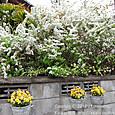 137 2012.04.26up tree・flower/木・花 041 満開のユキヤナギと黄色いビオラの花